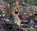 Green Spider Orchid