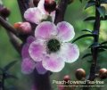 Peach - flowered Tea -tree